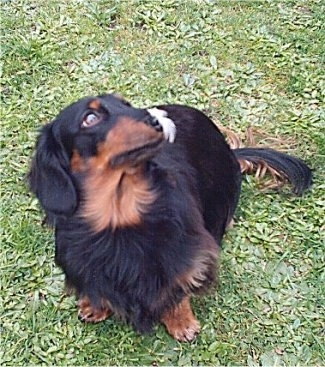 Felix the black and tan Miniature Longhair Dachshund is sitting outside. There is a feather on his nose.
