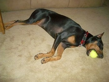 Destiny the black and tan Doberman Pinscher is laying on her side on a tan carpet with a tennis ball in her mouth