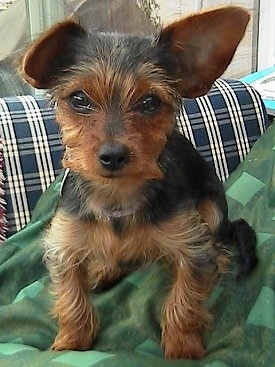 ... month-old Dorkie—her mom is a longhaired Dachshund and dad a Yorkie