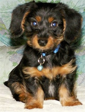 Close Up - RENO SIR LONGFELLO the black and tan Dorkie puppy is sitting on a bed
