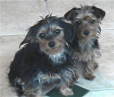 Angel and Josie, the Dorkies (Dachshund & Yorkie hybrids) at 8 months old