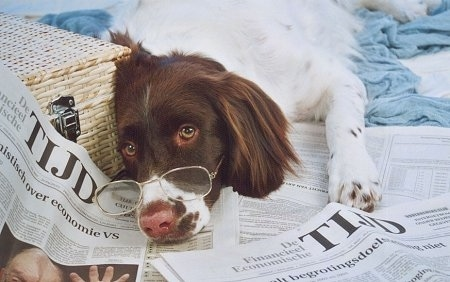 Close Up - A Drentsche Patrijshond dog has glasses on its face and there is a wicker basket next to it and newspapwers under it.