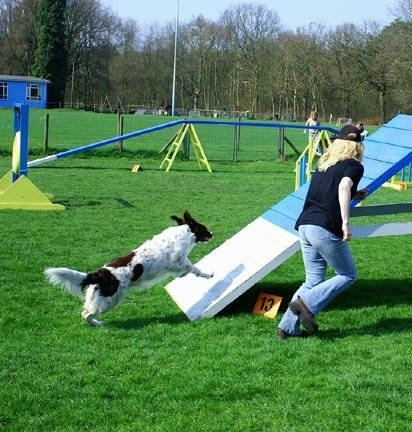 A Drentsche Patrijshond dog is running up a ramp at an agility obstacle park. There is a lady wearing a hat and running next to it