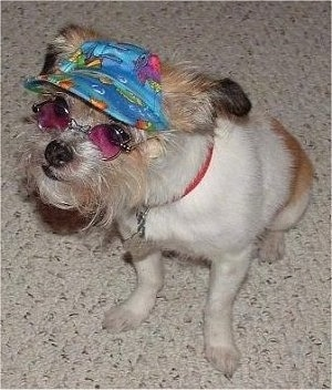Shiloh the little white and tan terrier mix is sitting in a house and wearing hippie glasses with a coral hat