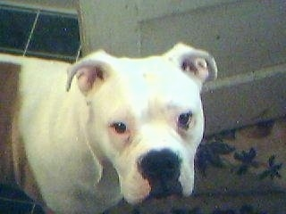 Kojak, the English American Bulldog (EngAm Bulldog) at 10 month old and about 78 pounds