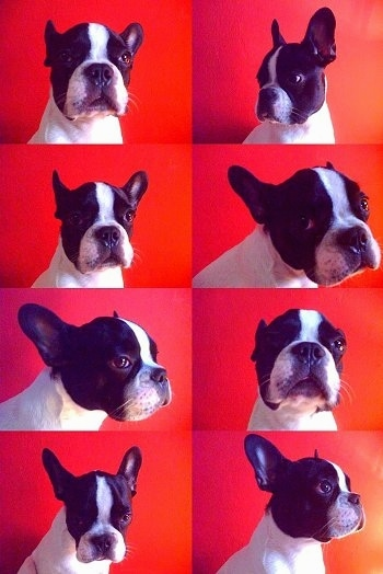 A series of eight photos of a white with black Faux Frenchbo Bulldog sitting in front a red wall. It is turning its head in different directions