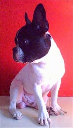 A white with black Faux Frenchbo Bulldog is sitting in front of a red wall. It is looking to the left