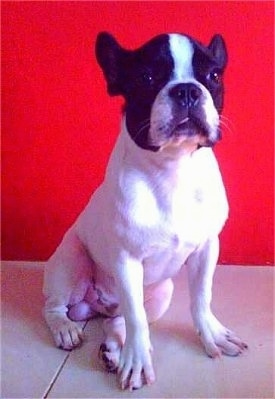 A white with black Faux Frenchbo Bulldog is sitting in front of a red wall. Its tongue is sticking out of its mouth a little bit