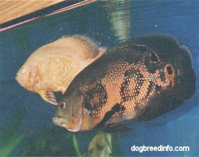 A large white and orange albino tiger oscar and a large black and orange tiger oscar swimming side by side inside of a fish tank.