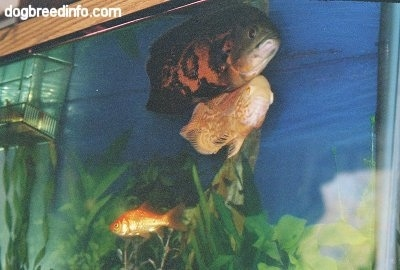 An orange and white albino and a black and orange tiger oscar are swimming next to each other at the top of the fish aquarium. There is an ornage gold fish swimming near them.