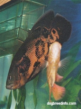 A black and orange tiger oscar is swimming under a filter with an orange and white albino oscar under it