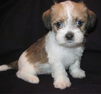 A tan and white with black Fo-Tzu puppy is sitting on a black backdrop