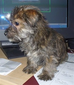 A tan, brown with white Fourche Terrier puppy is sitting in front of a computer monitor and on top of a calender