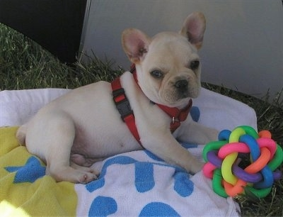 A cream French Bulldog puppy is laying outside on a white with blue and yellow towel. There is a colorful toy in front of it