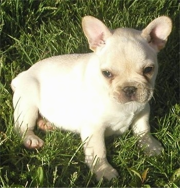 A cream French Bulldog puppy is sitting outside in grass