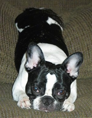 A black and white French Bulldog is laying on a olive green couch
