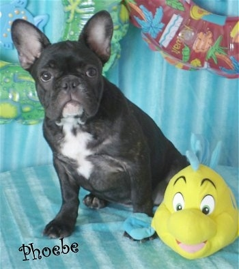 A black with white French Bulldog puppy is sitting on a teal-blue couch next to a plush doll of Flounder from Disney's The Little Mermaid. The name Phoebe is overlayed at the bottom left of the image.