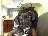 A black brindle Frengle is in the arms of a person on a couch