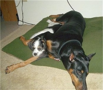 Two dogs laying down on a large green pillow on top of a tan carpet, a large black and tan Doberman Pinscher with its paw over a small Pekingese/Terrier mix.