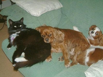 Sam the black and white cat is laying on a green couch with Rosie the Ruby Cavalier and Emily the Blehiem Cavalier King Charles Spaniel