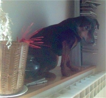 A Jagdterrier is sitting up on top of a cabinet with its head down and looking forward