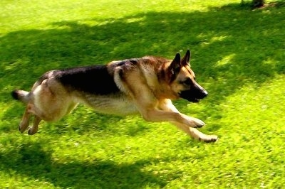 Action shot - A black and tan German Shepherd is running through a yard with all of its paws off the ground.