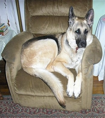 German Shepherd Dog Breed Pictures, 4