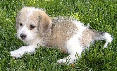 A tan and white Beagle/Bichon puppy is laying in grass that is almost as tall as it.