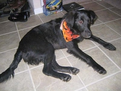 A black Golden Labrador is laying on a tan tiled floor with a book and shoes behind it. It is wearing an orange and black bandana