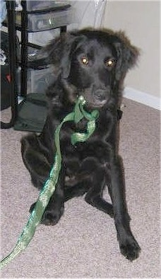 A black Golden Labrador is sitting on a tan carpet with a green ribbon hanging out of its mouth. There is a back pack on the floor behind it.
