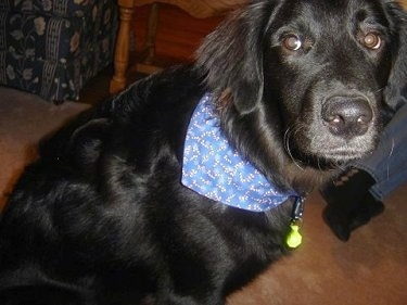 A black Golden Labrador is sitting on a carpet. It is wearing a blue bandana and a dog collar with a light on it.