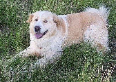 A Golden Pyrenees is laying in a field looking up panting.