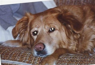 Close Up - A Golden Retriever is laying down on a brown couch