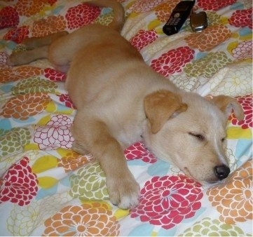 A Golden Sheltie puppy is sleeping on its side on a human's bed that has a colorful blanket on it. Behind it there are two phones, a landline and a cell phone.