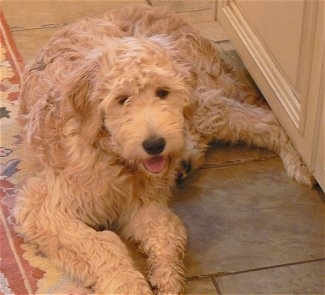 A Goldendoodle is laying on a floor and it is laying in a doorway. Its mouth is open and tongue is out