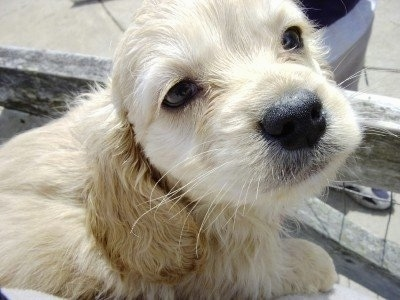 Close up - A cream colored, Petite Goldendoodle puppy is laying on a stone surface looking up and to the right. It has longer wavy hair on its ears.