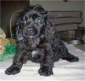 A wavy-coated, black Petite Goldendoodle puppy is sitting on a blanket looking to the left in front of green Easter grass and a brown wicker basket.