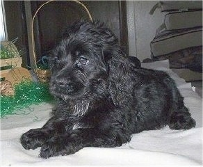 A wavy-coated, black Petite Goldendoodle puppy is laying across a blanket looking to the left. There is a wicker basket and green Easter grass behind it.
