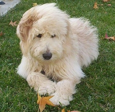 A long haired cream-colored Goldendoodle puppy is laying in grass looking down and to the right