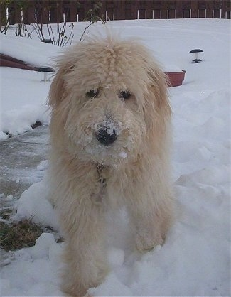A long-haired tan Goldendoodle is walking around in snow with snow all over its nose