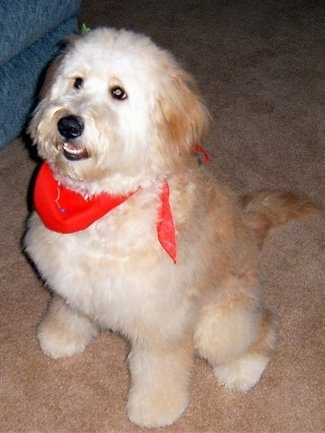 A cream colored Goldendoodle is wearing a red scarf sitting on a tan carpet next to a couch