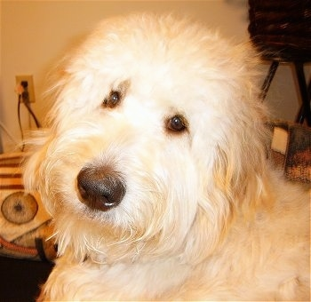 Close Up head shot - A cream colored Goldendoodles face. Its head is turned to the left