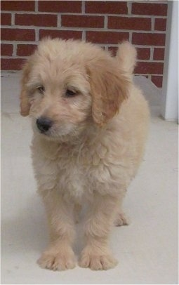 A tan Goldendoodle puppy is standing on a cement porch in front of a brick house looking down and to the left