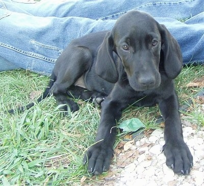 A black Goldmaraner puppy is laying in grass in front of a person who is wearing blue jeans. One of its front paws is on top of a pile of white rocks