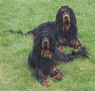 Two black and tan Gordon Setters are laying in grass looking up