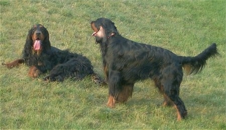Two black and tan Gordon Setters are in grass. One is laying down with its mouth open and tongue out. One is standing up and its back is most prominent. It also has its mouth open and tongue out
