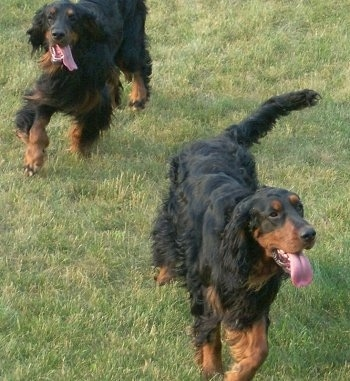 Two panting black and tan Gordon Setters are running outside in grass. One dog is in front of the other.