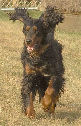 A black and tan Gordon Setter is running through a field. Its ears are flopping out and its mouth is open. There is a chain link fence behind it.