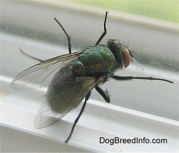 Close Up - Green Bottle Fly against a window
