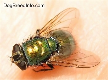 Green Bottle Fly in the palm of a hand